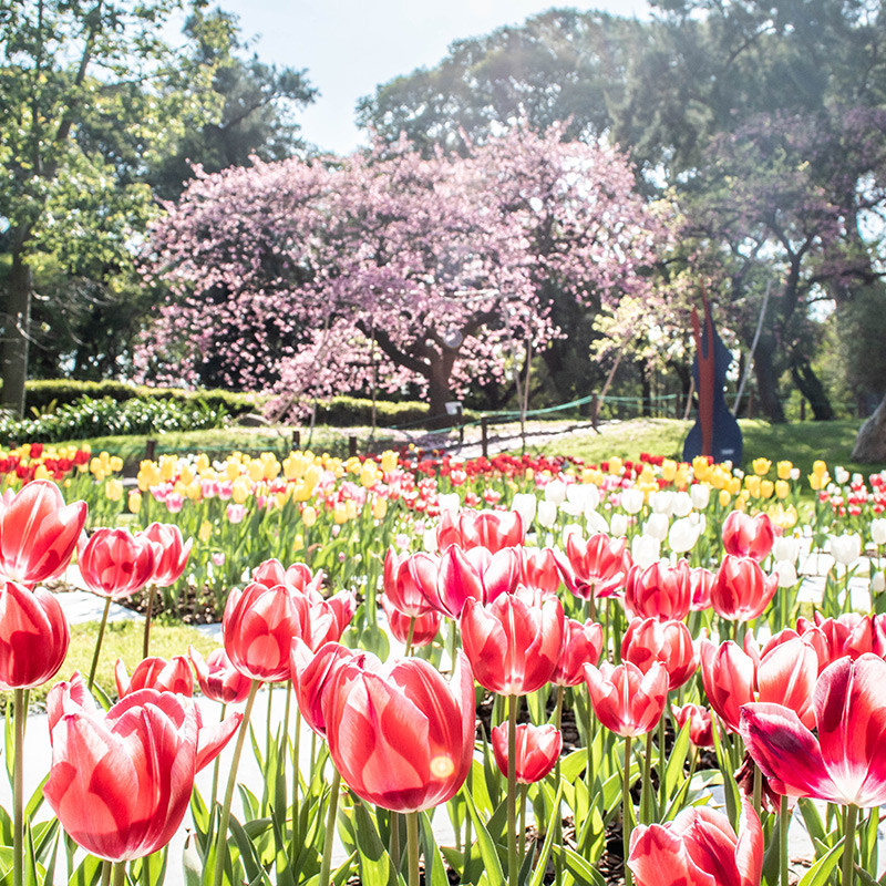 Jardin_Japones_Turista_BuenosAires_BA_Tulipanes_Cerezos_Tulipe_CherryBlossom