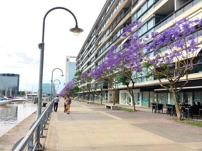 jacaranda_turista_en_buenos_aires_lila_violeta_Puerto_Madero