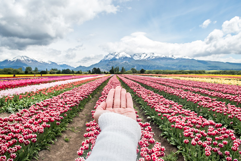 Trevelin_tulipanes_CampoDelSur_TEBA_NearBA_Argentina_Chubut