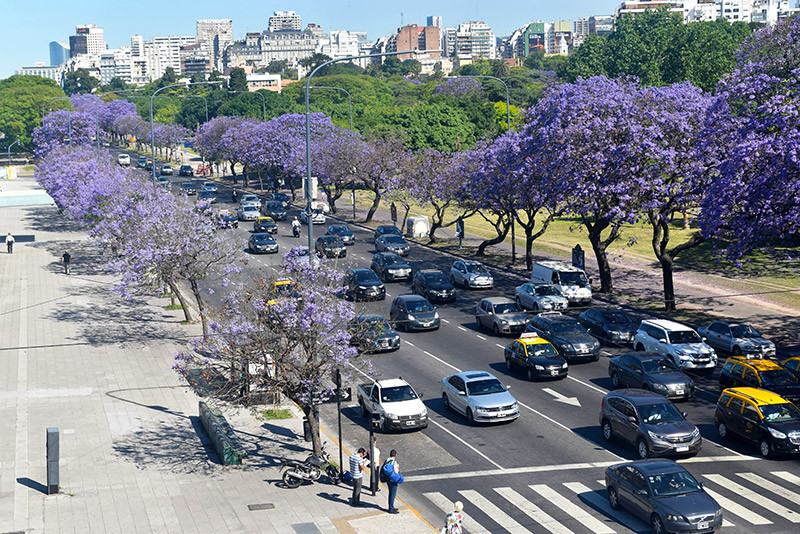jacaranda_turista_en_buenos_aires_lila_violeta_Figueroa_alcorta