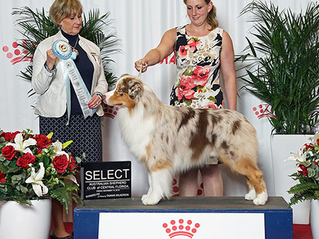 Select Dog for Karson at the ASC Central Florida Specialty