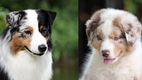 Australian Shepherds and Nose Pigmentation