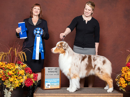 Karson 1st Open Red Merle all 3 Preshows,RWD, WD & BOW. 1st Open Red Merle at 2018 ASCA National