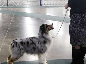 Ferris and Nori have a great weekend at the Novi AKC show