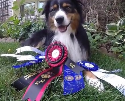 CKC Rally Novice and Herding Instinct titles for Oscar