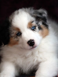 Ninebark Aussies puppy