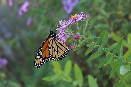 Monarch Butterfly on Aster in Native Perennial Meadow