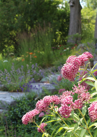 Milkweed (Asclepias) helps feed the Monarch Butterly Larvae
