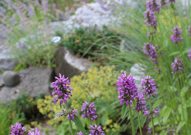 Stachys officinalis and Alchemila mollis