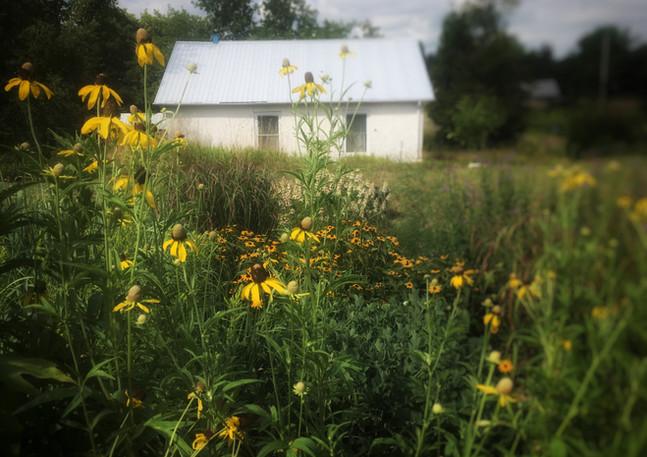 Yellow Cone Flowers in Naturalistic Garden