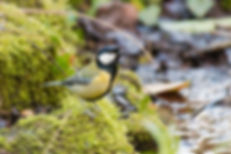 Chickadee in the Water Garden
