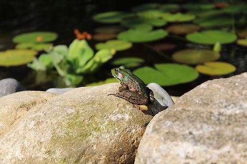 Ecosystem Pond with Frog