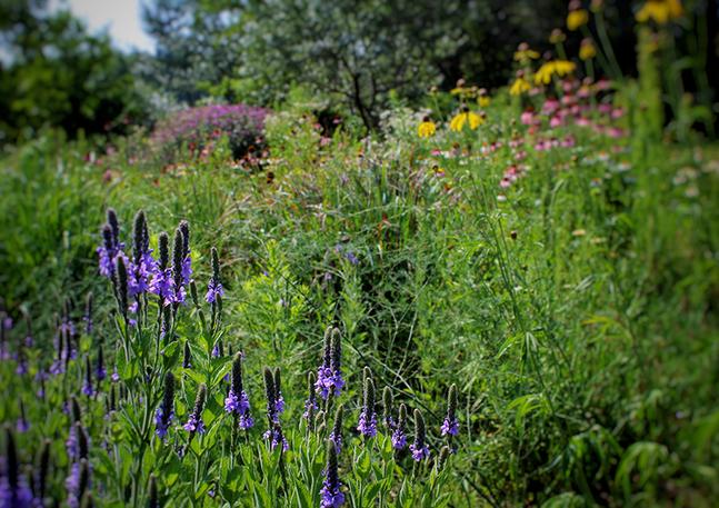 Meadow Garden - Native Perennial Meadow