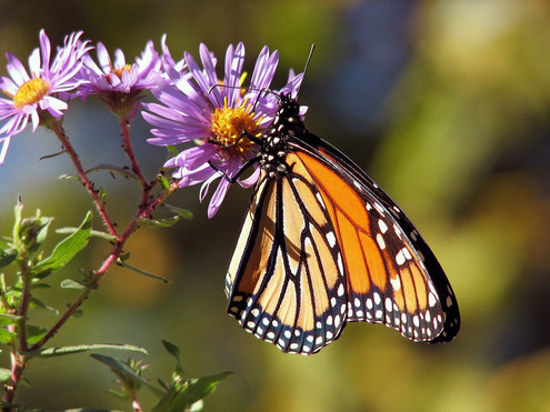 butterfly-17057_1280.jpg