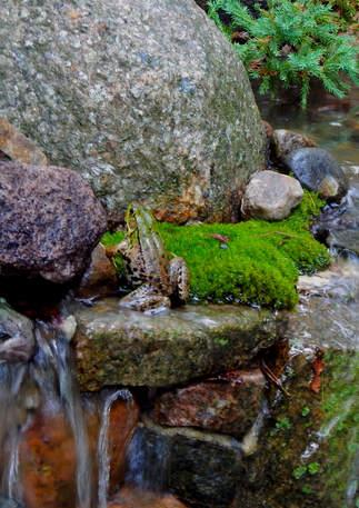 Frogs Enjoying a Lavish Gardens Waterfall