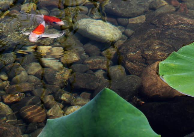 Kohaku Koi in an ecosystem pond in Trenton, Ontario