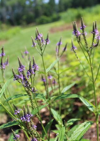 Native Perennial: Verbena hastata