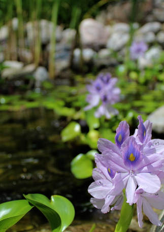 Water Hyacynth in Small Pond