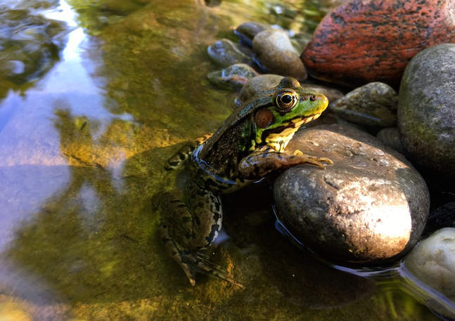 Another Frog Enjoying the Fresh Water