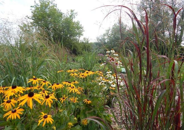 Rudbeckia Hirta (Black-Eyed Susan) with Echinacea and Panicum virgatum (Switch Grass)