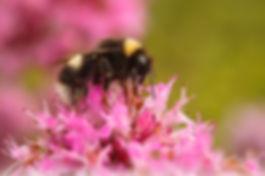 Yellow-Banded Bumble Bee Feeding on Monarda