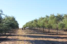 オリーブ木