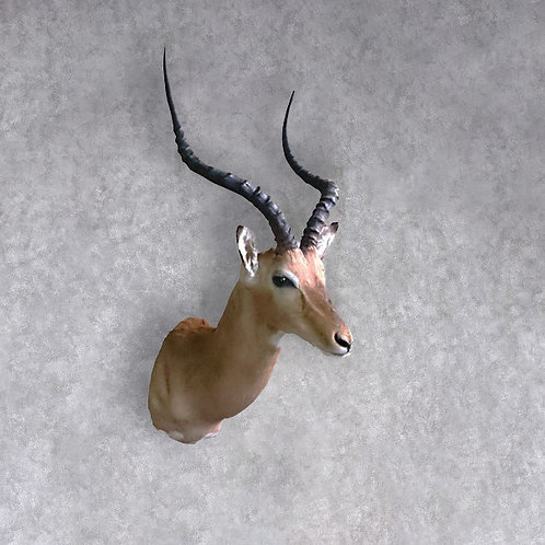 Taxidermy Impala Shoulder Mount