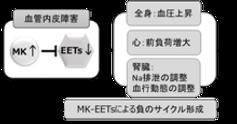 MK-EETs経路を介した心・腎障害カスケード