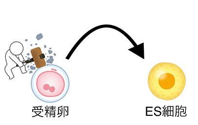 ES細胞 作製方法