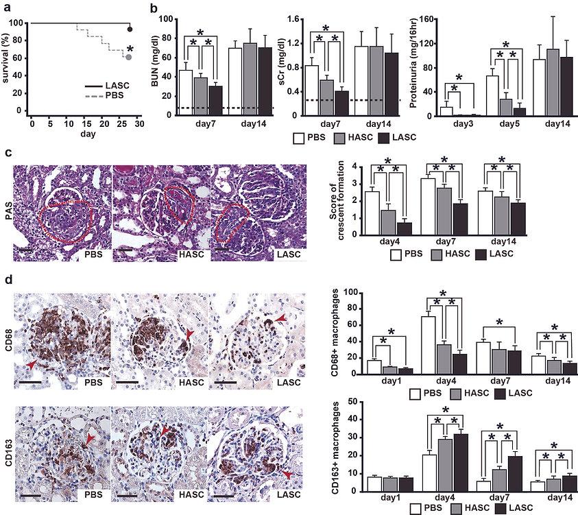 脂肪由来幹細胞による腎疾患治療法開発