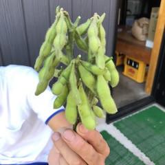 枝豆収穫!!
