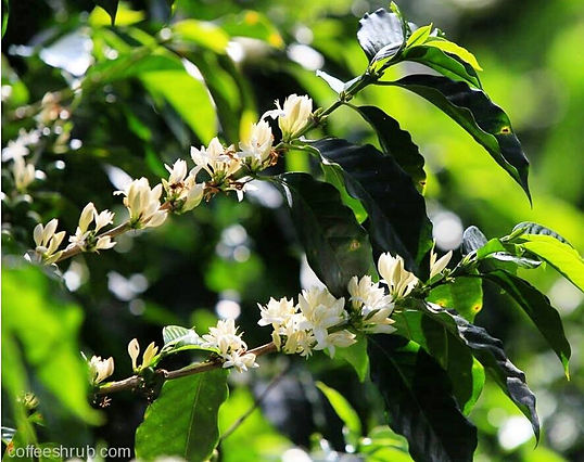 Taken by one of our importers, Coffee Shrub. Blooming branches of the coffee plant with delicate white flowers. Flor del Cafe