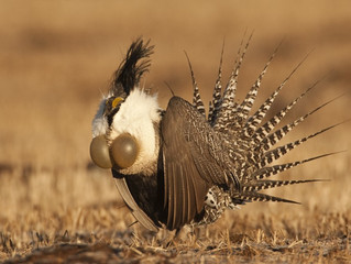 Gunnison Sage Grouse Habitat Restoration: An Introduction