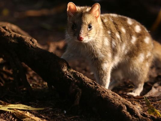 Marsupial cats of Australia