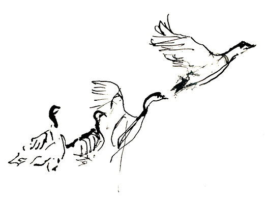 a black and white ink drawing of four geese in stages from sitting, taking off, to slying