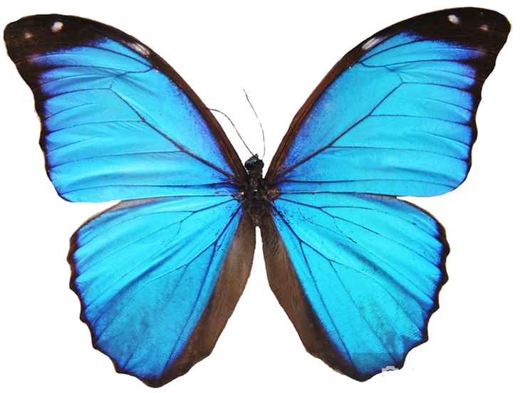 blue.butterfly.png
