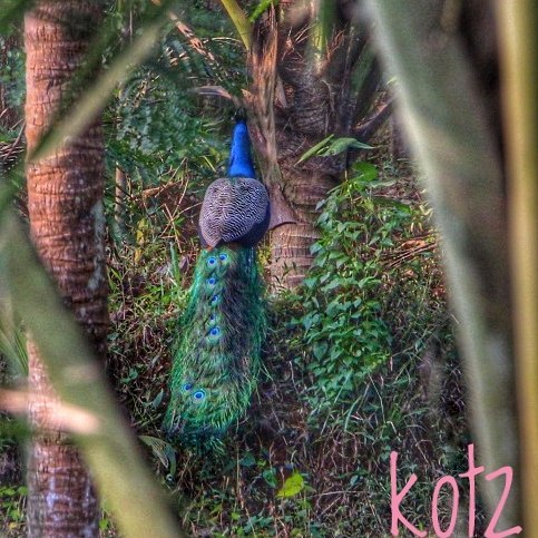 #peacock#naturephotography#birds #birdsofinstagram