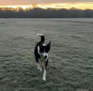 Cindy, the border collie, running across a frosty field