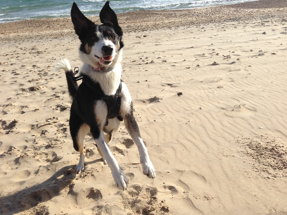 Cindy the border collie jumping for joy on the beach