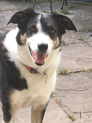 photo of the author's dog a black and white border collie called Cindy