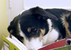 Cindy the dog with her nose in a book