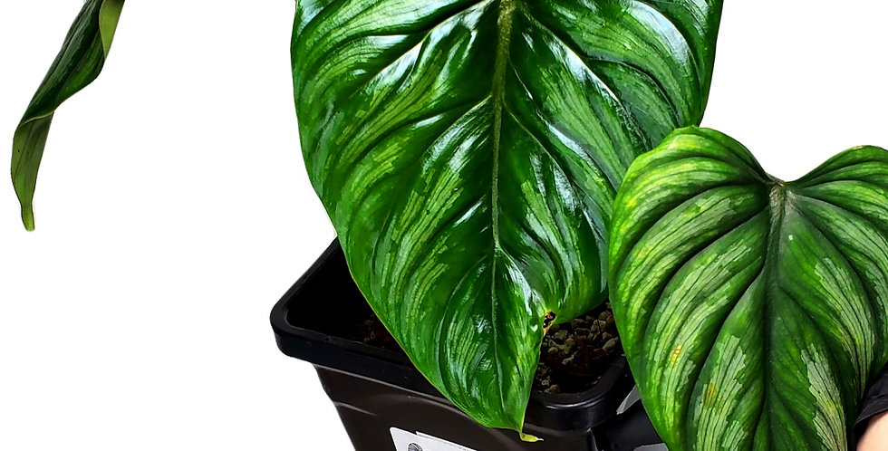 Philodendron Silver Cloud/Mamei (L)