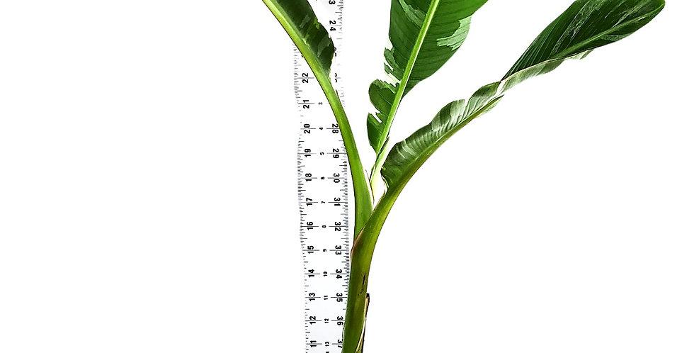 Dwarf Banana  Musaceae Varigated - Banana Plant - 3.5 ft