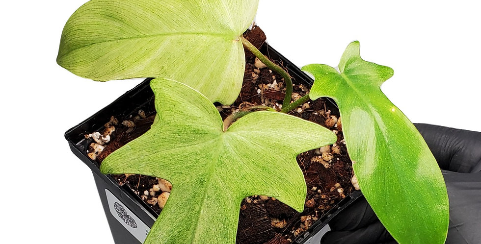 Philodendron Florida Ghost Mint