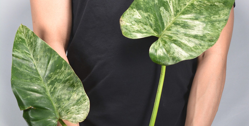 Philodendron Variegated Giganteum