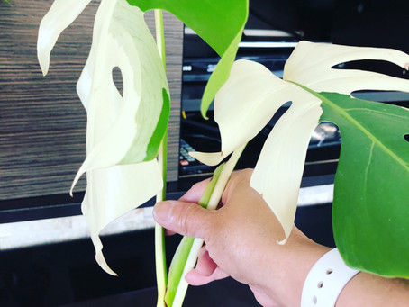 Monstera Albo cutting, with new roots coming out