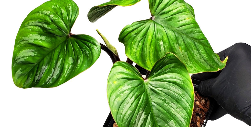 Philodendron Silver Cloud/Mamei
