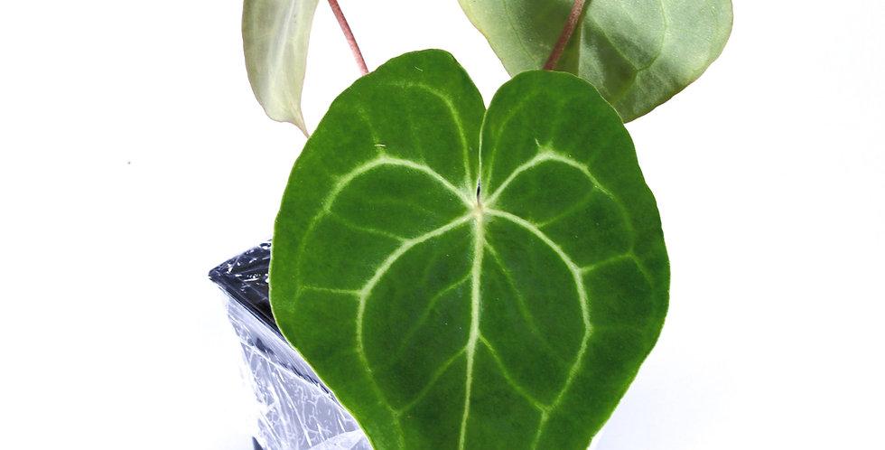 Anthurium Clarinervium (Sm)