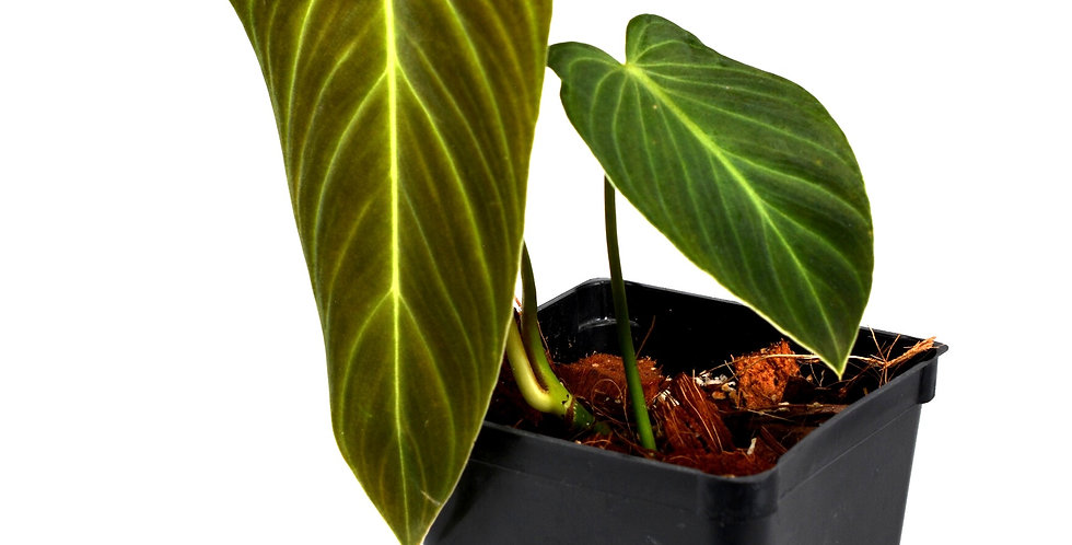 Philodendron Melanochrysum x Verrucosum