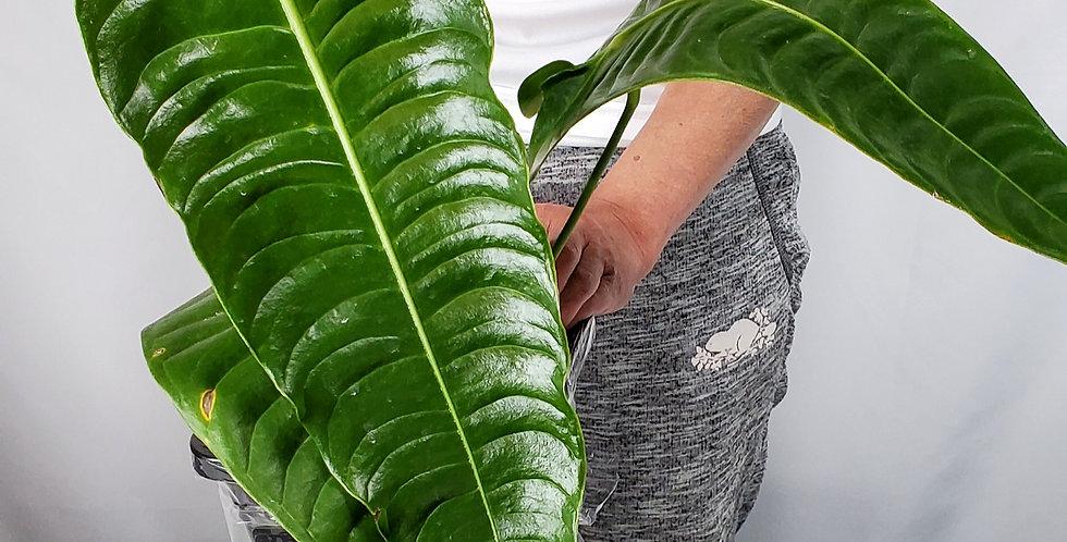 Anthurium Veitchii XL